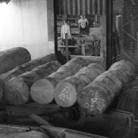 english oak logs lined up on the rollers for sawing. cocking sawmills
