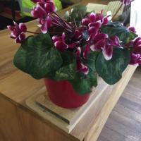 potted purple cyclamen