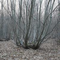 young chestnut coppice in winter